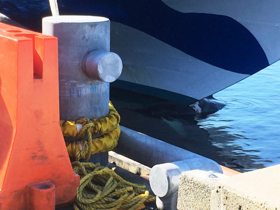 Necropsy Planned For Humpback Hit By Cruise Ship