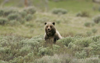 The Yellowstone grizzly bear has been delisted from the Endangered Species Act. (Photo courtesy Jim Peaco/Natioanl Park Service)