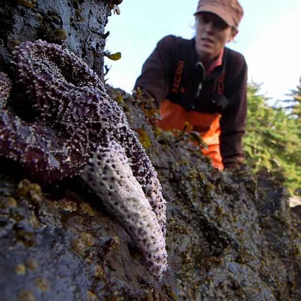 A researcher examines an ochre star with whitened arms — a symptom of sea star wasting syndrome. So far, about 20 different species along the Pacific Coast appear to be vulnerable to the disease. (Photo courtesy Greg Davis)