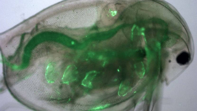 Polystyrene particles less than 50 nanometers long (in light fluorescent green) have infiltrated the gastrointestinal tract, antenna, and thoracic appendages of this freshwater plankter, Daphnia magna.