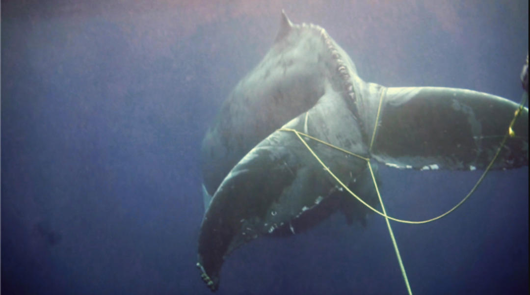 Humpback whale entangled in commercial lobster gear, sighted off San Diego in 2015 (photographed under NOAA permit #: 18786) (Photo courtesy NOAA Fisheries)