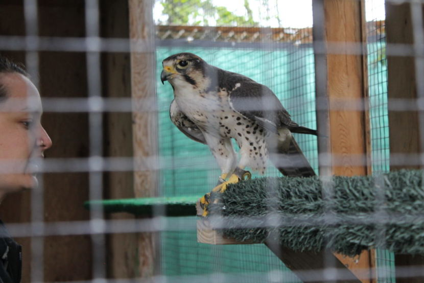 Zilla the hybrid Lanner Saker falcon perches during training with Sidney Campbell.