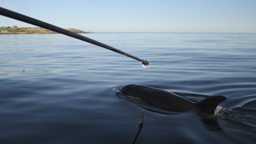 Researchers use a boom to collect exhalations from ailing orca J50 on July 21, 2018. Unfortunately, the samples were too small to be of diagnostic value.