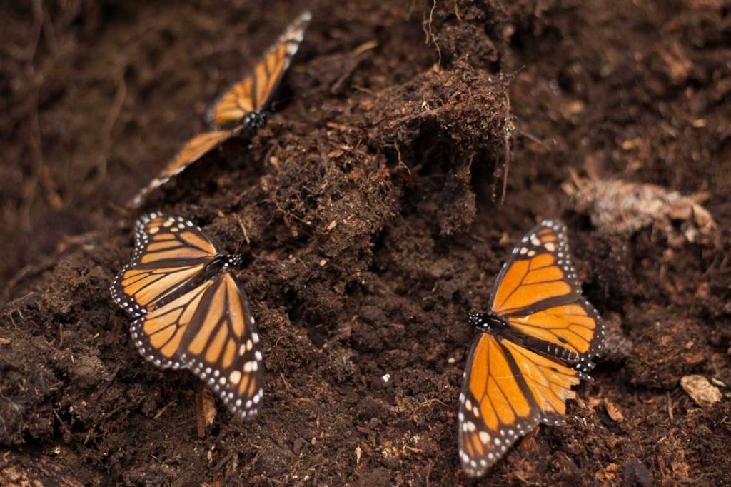 Monarch Butterfly Virtual Field Trip