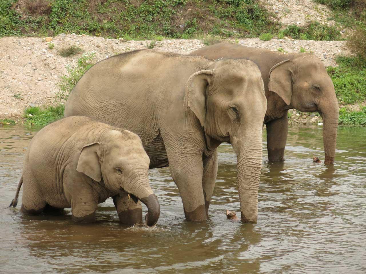 Asian Elephants Virtual Field Trips