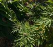 colorado plant limit