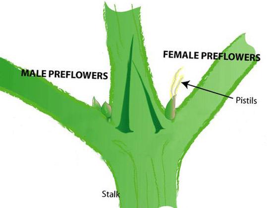 male-female-preflowers-cannabis