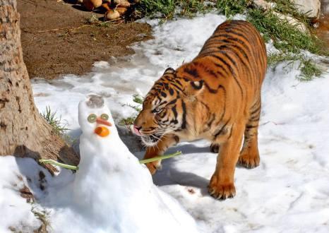 Tigre del Zoológico de Los Ángeles. Foto: Página oficial de Facebook del Zoológico de LA.
