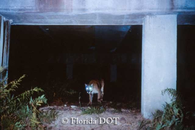 A mountain lion uses a wildlife underpass in Florida. Credit: Florida Department of Transportation.