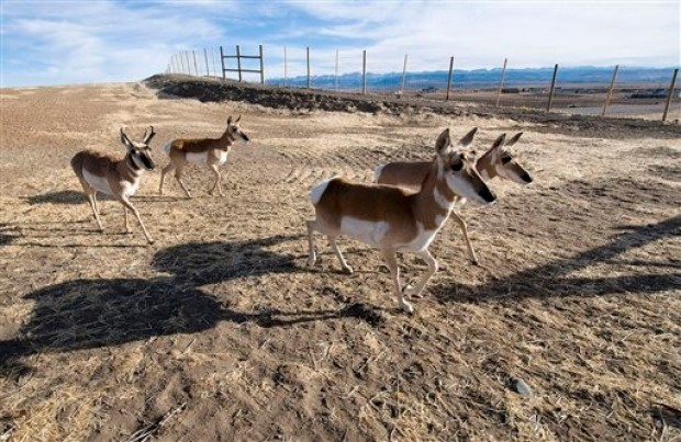 Pronghorn cross a road in Sweetwater County, Wyoming. Photo by carfull...Cowboy Stater via Flickr creative commons.