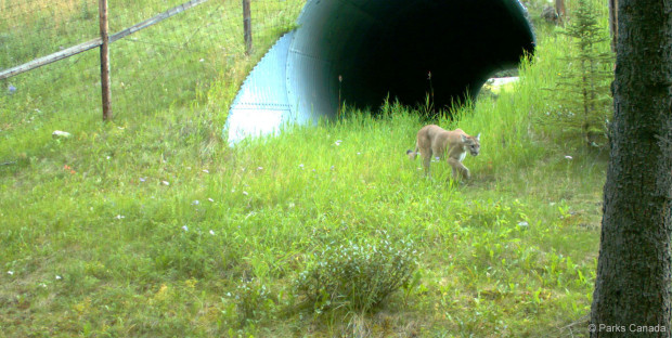 A mountain lion uses a wildlife undercrossing built near Banff in Canada. Photo: Parks Canada.