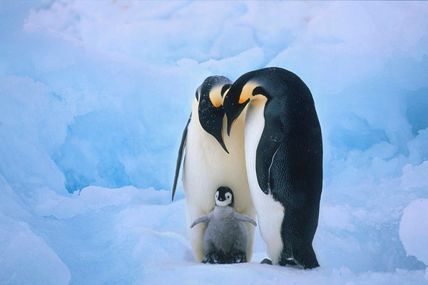 As my colleague Anna Chen likes to say, if you want to get people's attention about climate change, show them a photo of cute penguins. Click above to read a story from Time about global warming's potential threat to penguins.