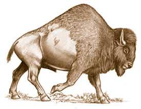 Bison antiquus. Photo:La Brea Tar Pits and Museum