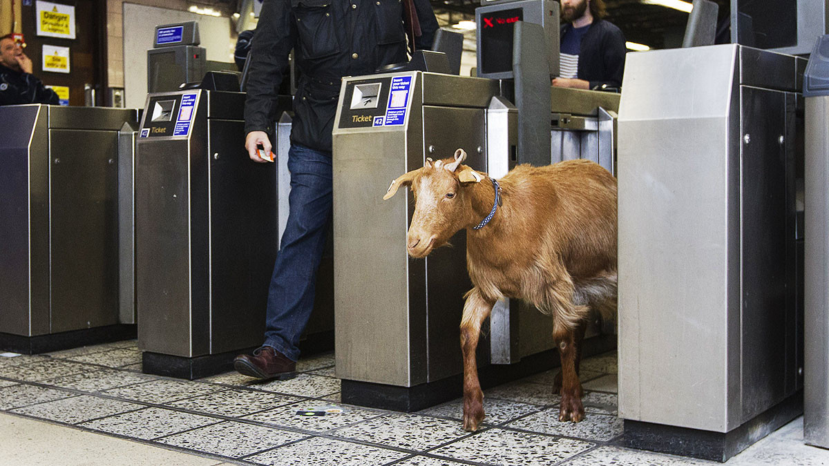 This odd and uncredited photo of a goat exiting a train station accompanies the article. I'm sure the goat would rather be telecommuting from his/her pasture.