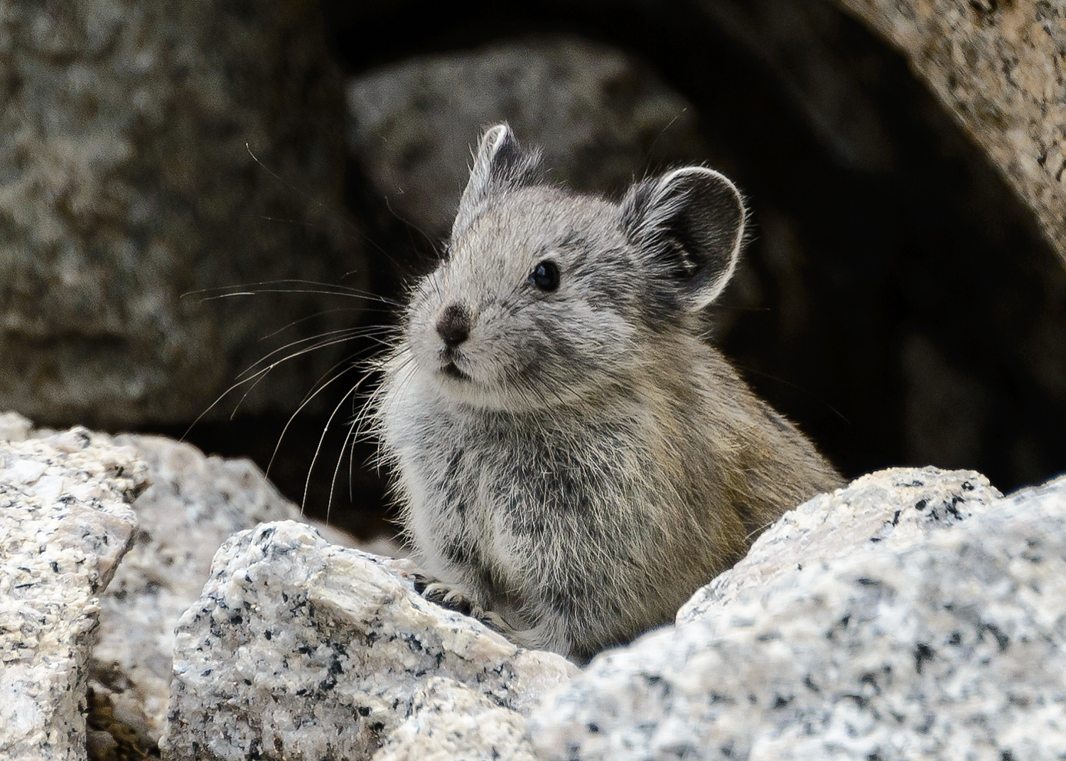An American Pika in the Sierra Nevada. Photo by Marshal Hedin, via Flickr creative commons.