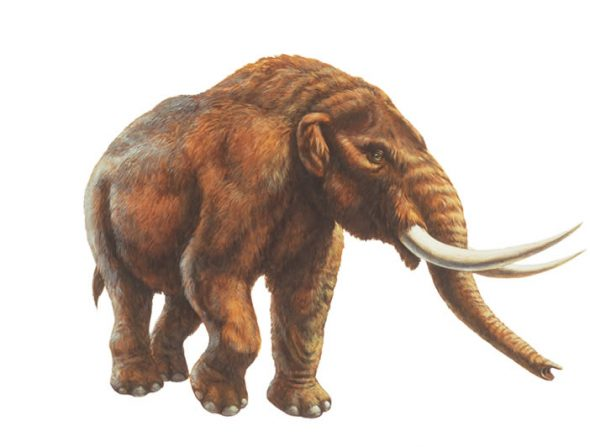 An illustration of an American Mastodon. Credit: La Brea Tar Pits & Museum.