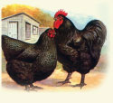 BLACK AUSTRALORP - STRAIGT RUN