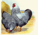 SILVER LACED WYANDOTTES - PULLETS