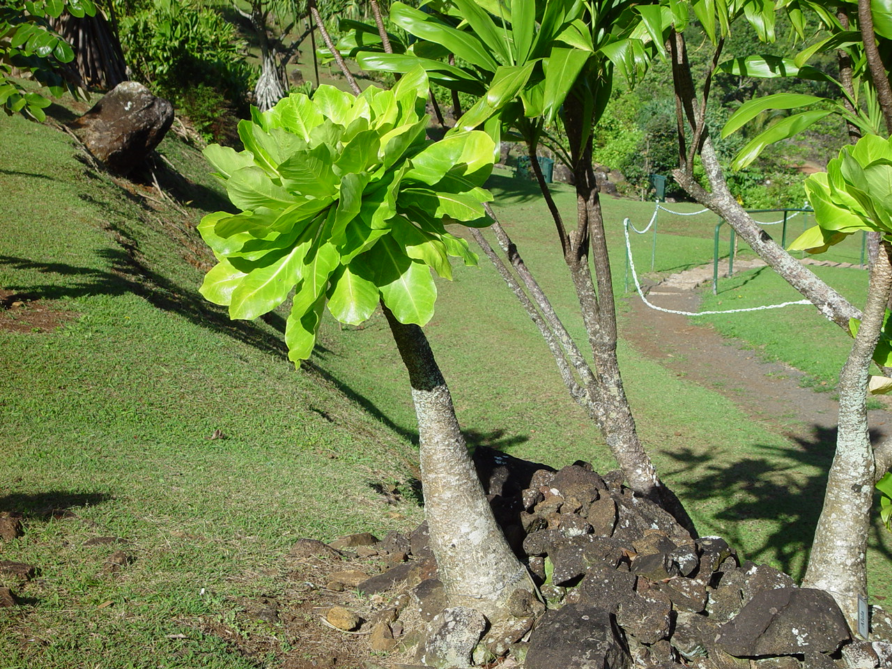 Brighamia insignis   - Habit showing swollen stem, leaf cluster
