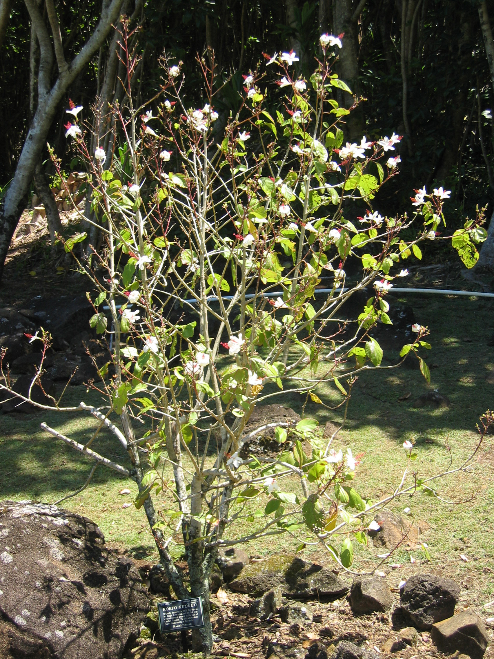 Hibiscus waimeae subsp. hannerae  - Habit, in full flower