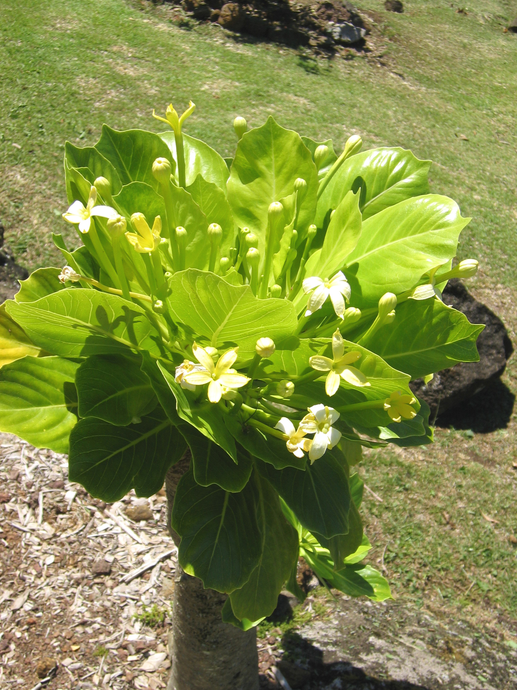 Brighamia insignis   - Leaves and flowers