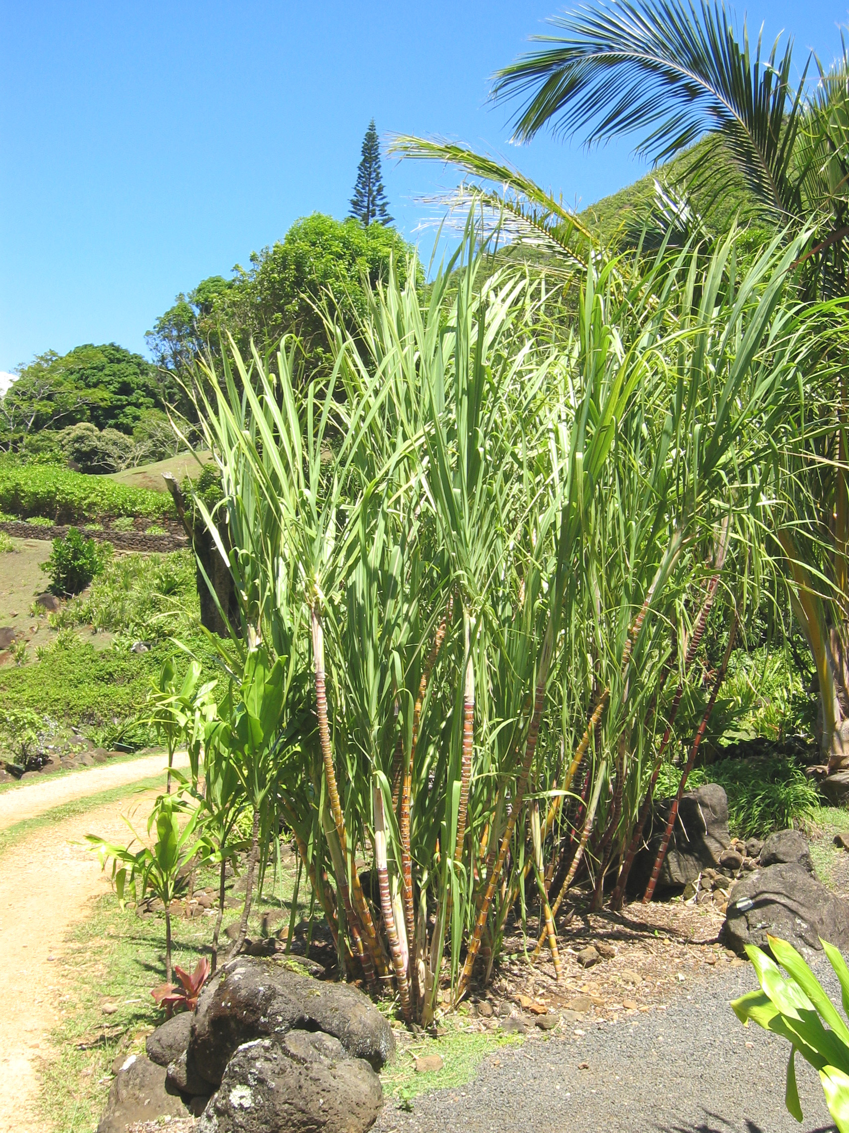 Saccharum officinarum   - yellow stem