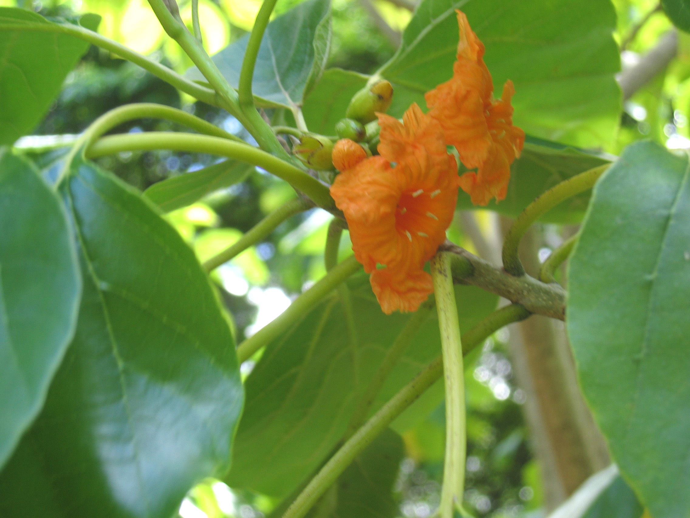 Cordia subcordata   - flowers