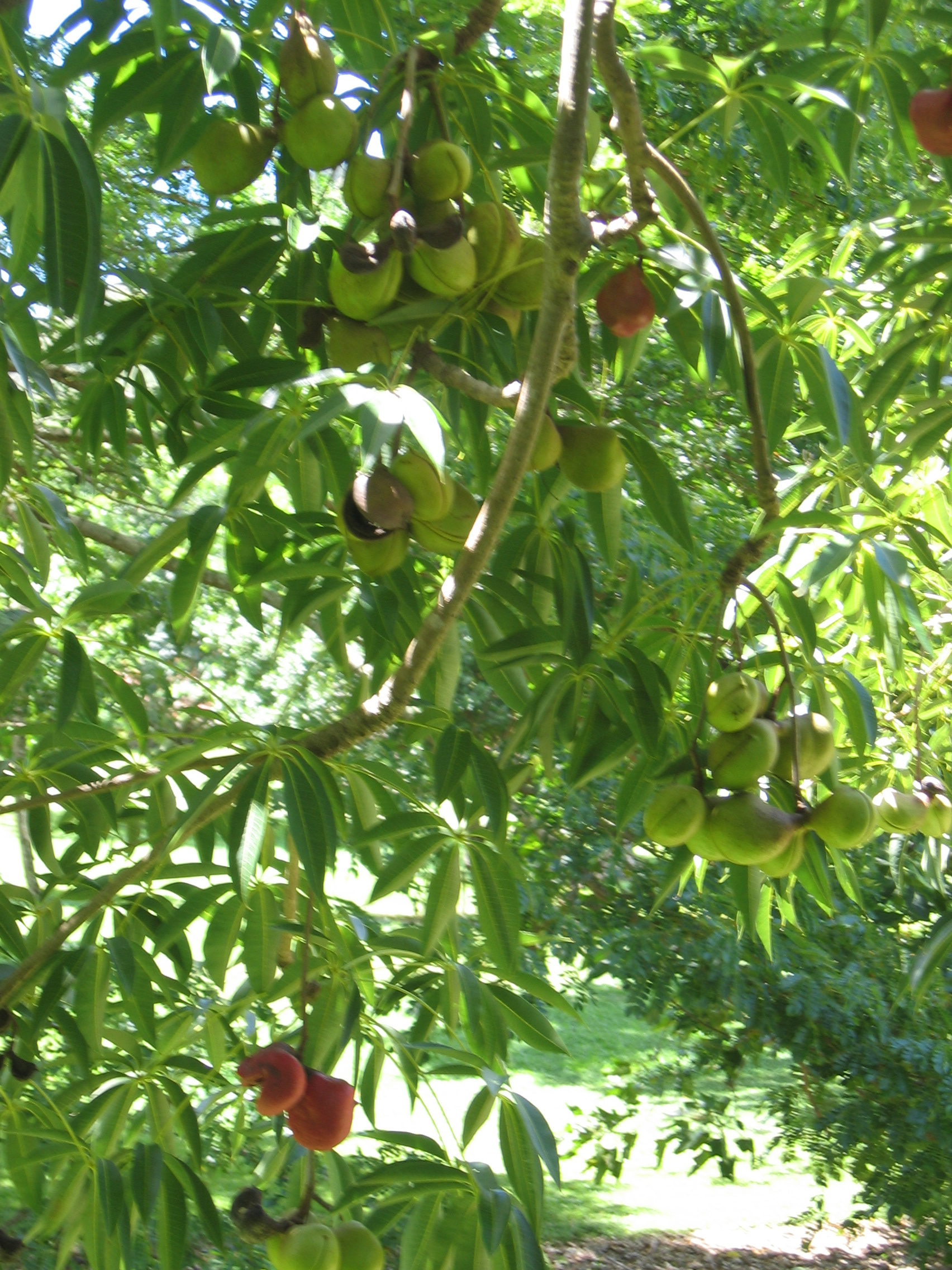 Sterculia foetida   - branch detail with green and ripe fruit