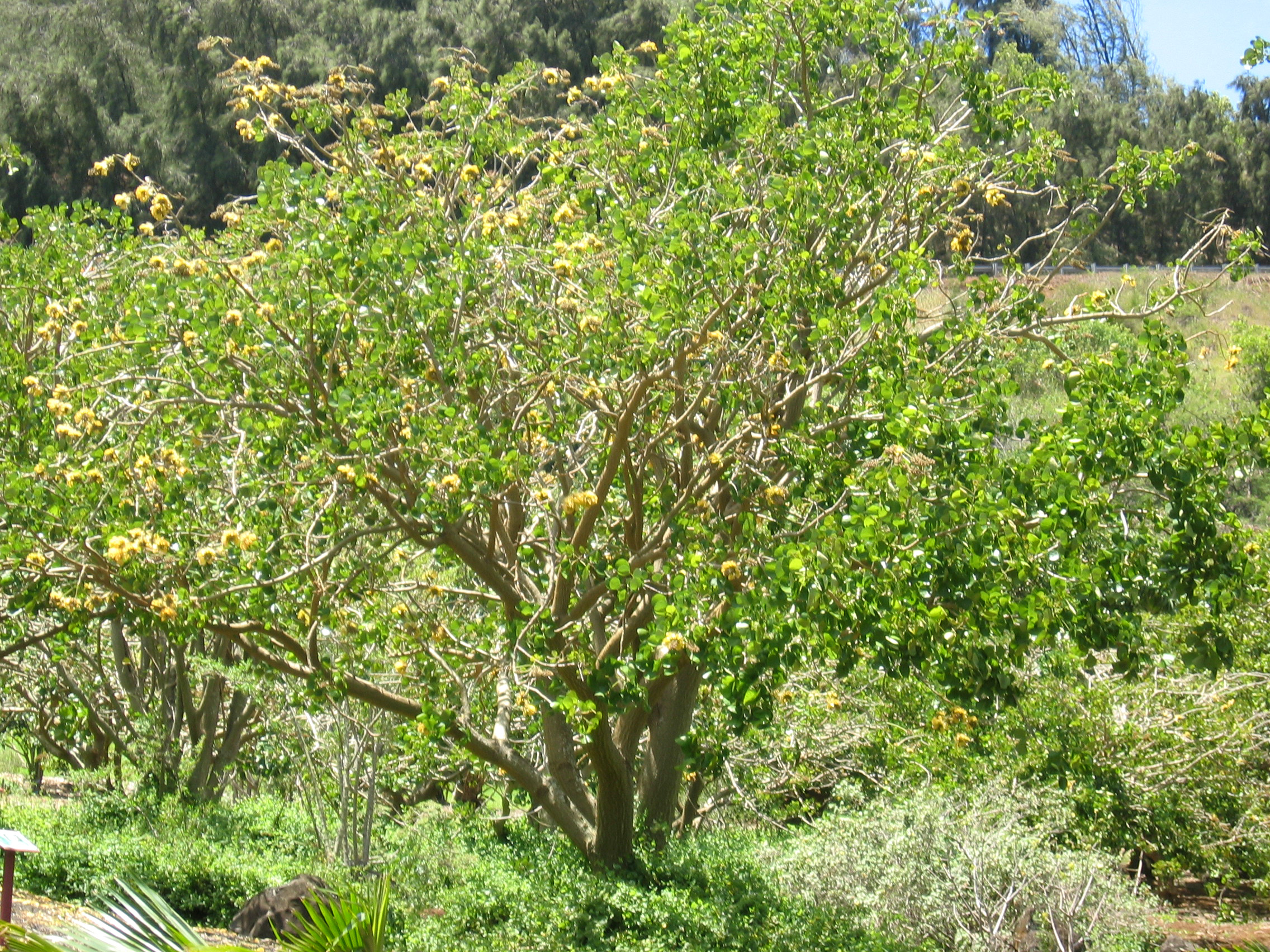 Erythrina sandwicensis   - tree with yellow flowers