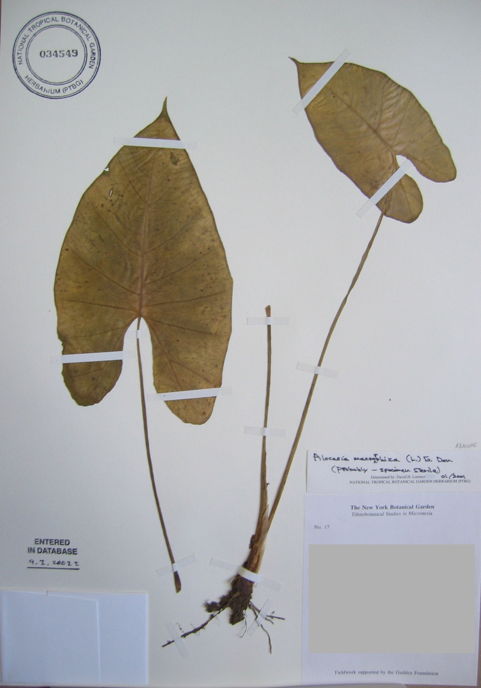 Alocasia macrorrhizos   - 