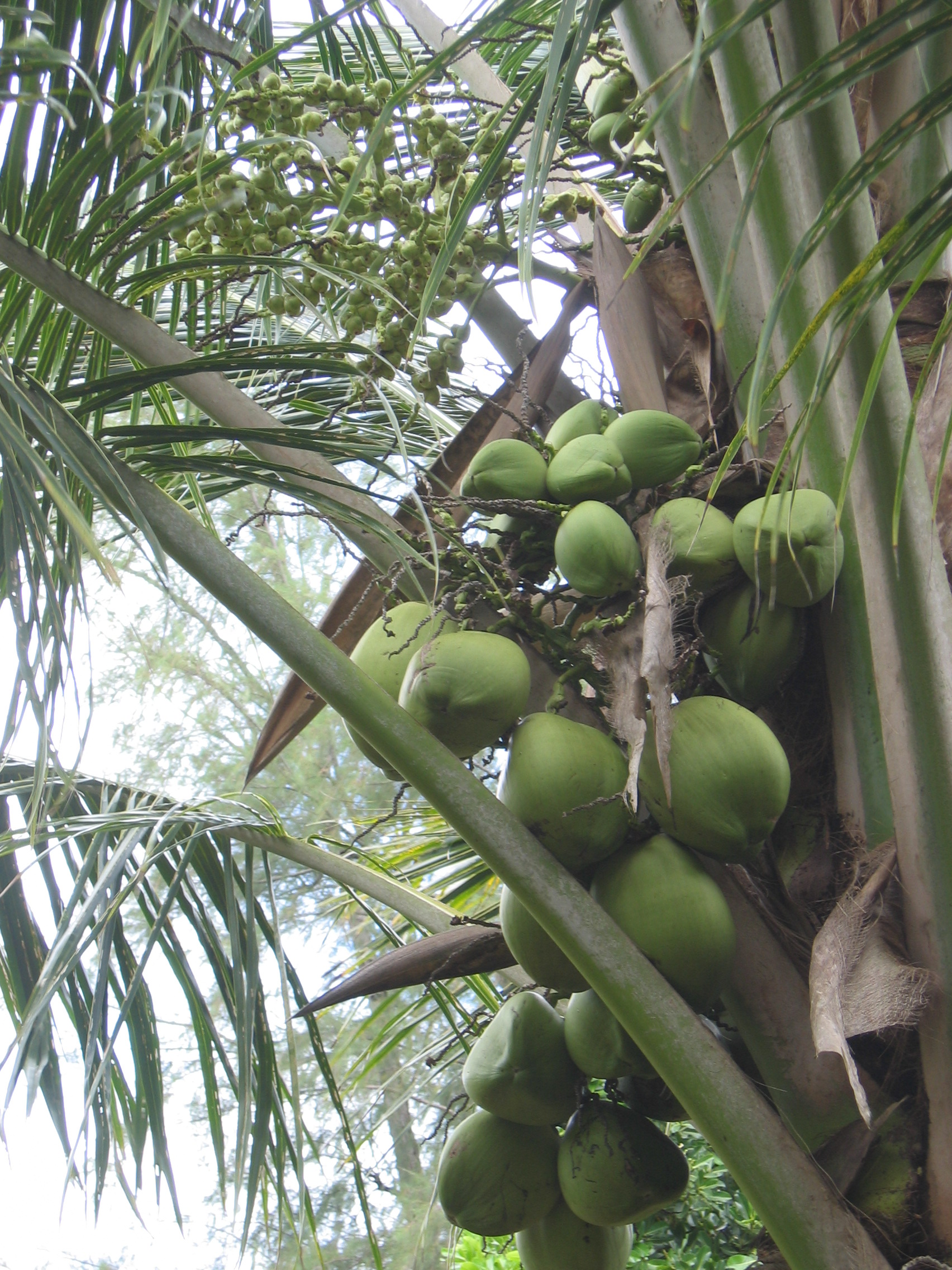 Cocos nucifera   - fruit detail