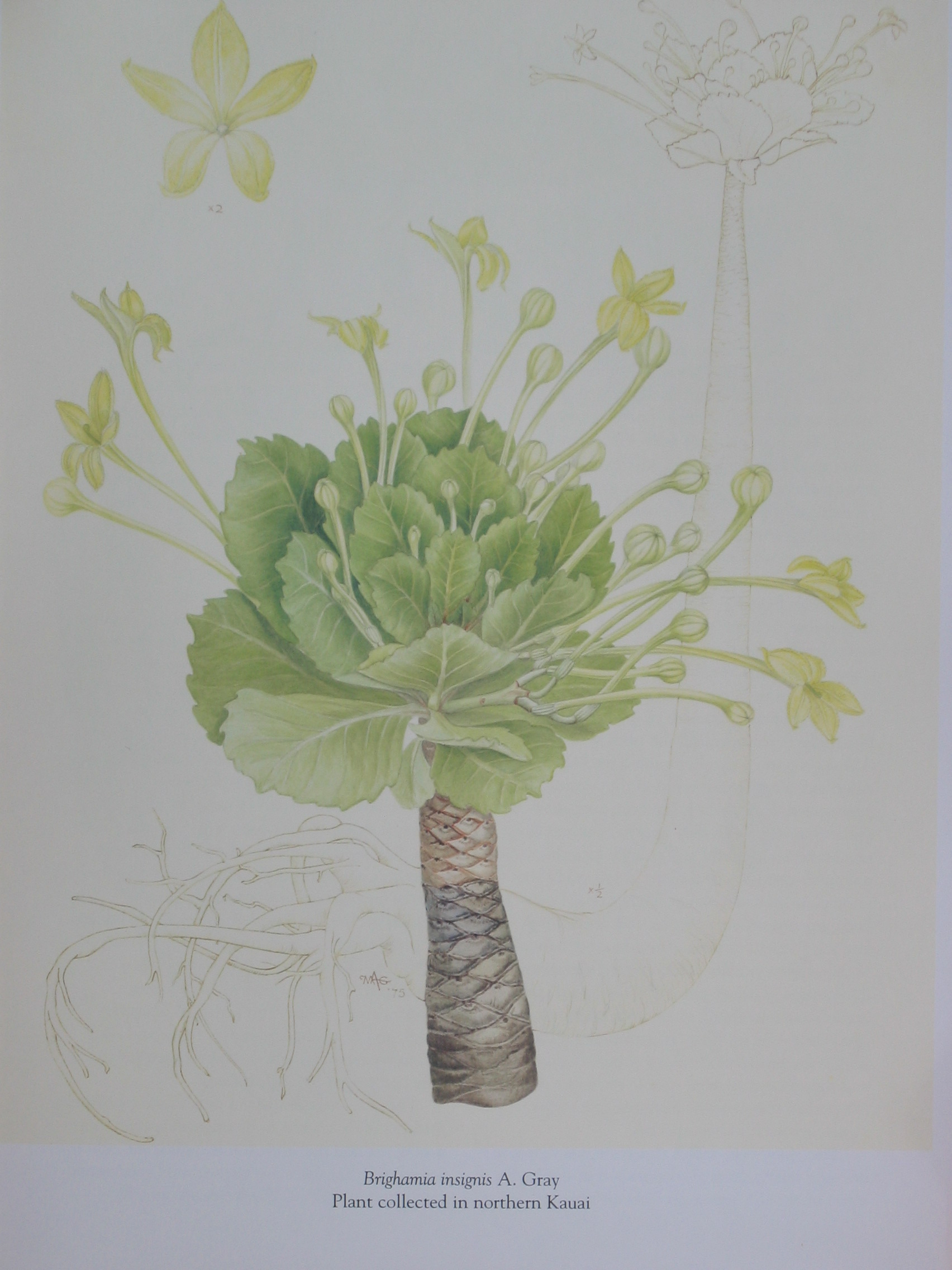 Brighamia insignis   - Watercolor