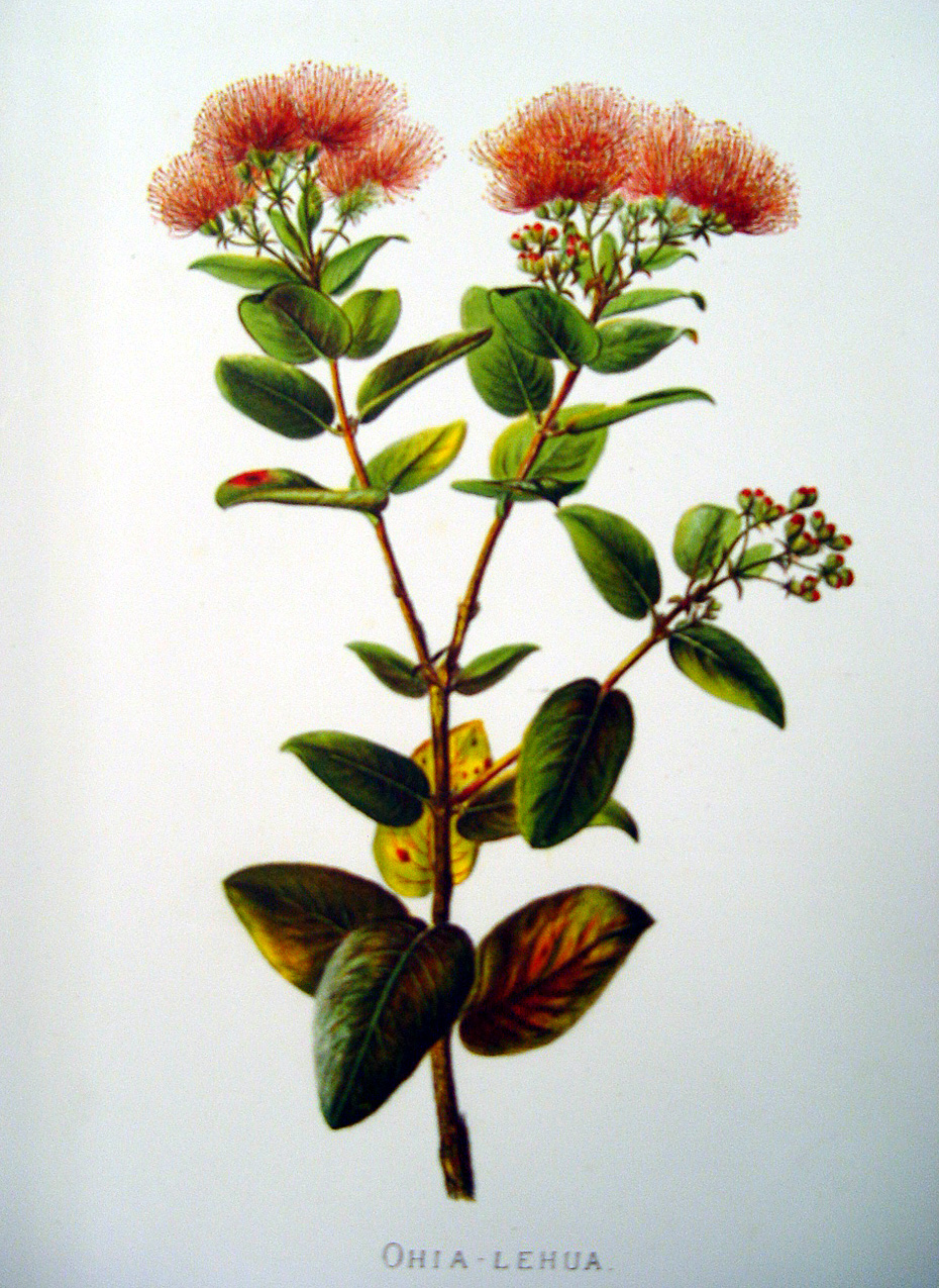 Metrosideros polymorpha   - Sinclair, FI.   Indigenous Flowers of the Hawaiian Islands.   Marston, Searle and Rivington.  London.  1885.