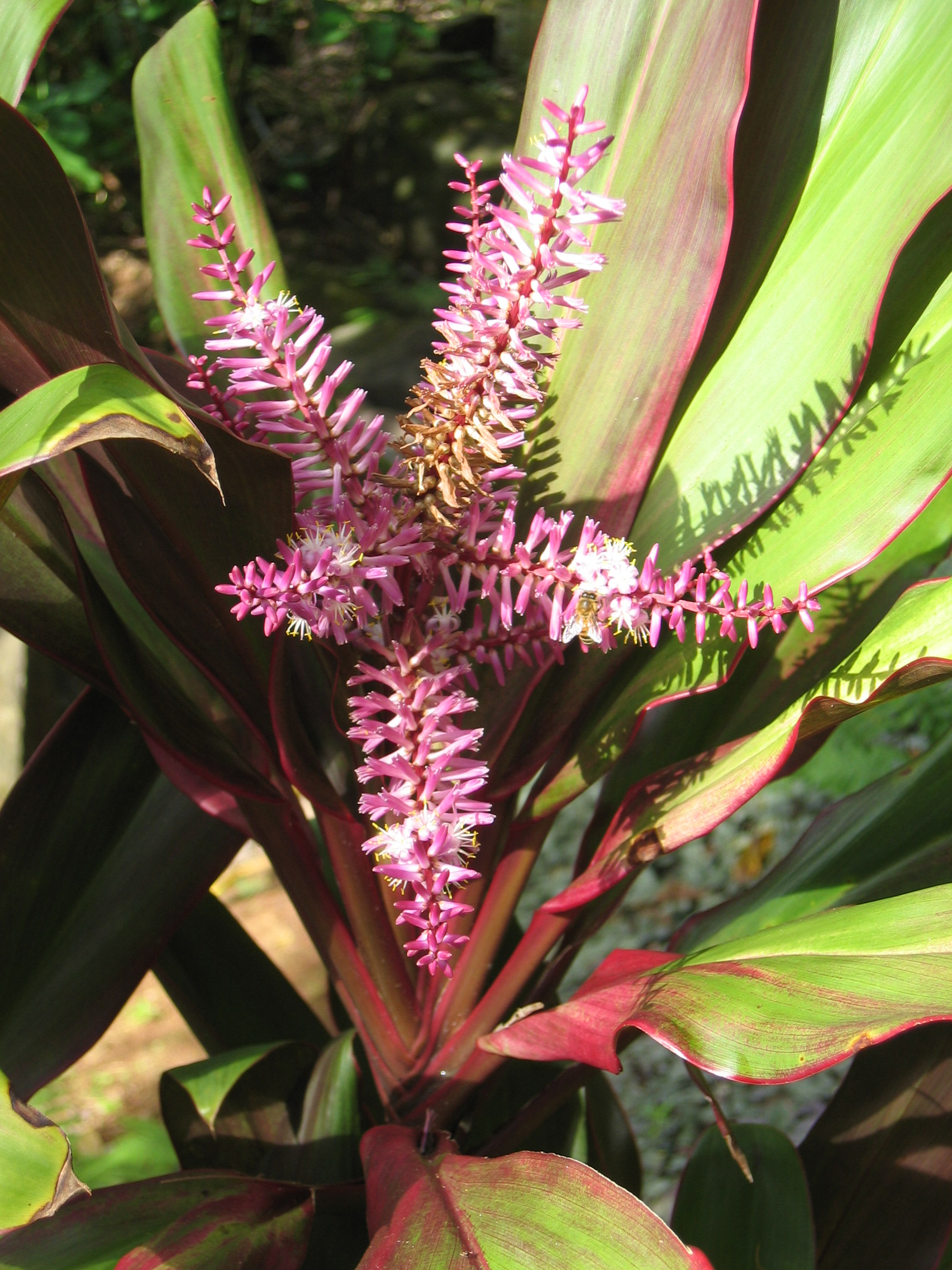 Cordyline fruiticosa   - Colored leaf form, in flower