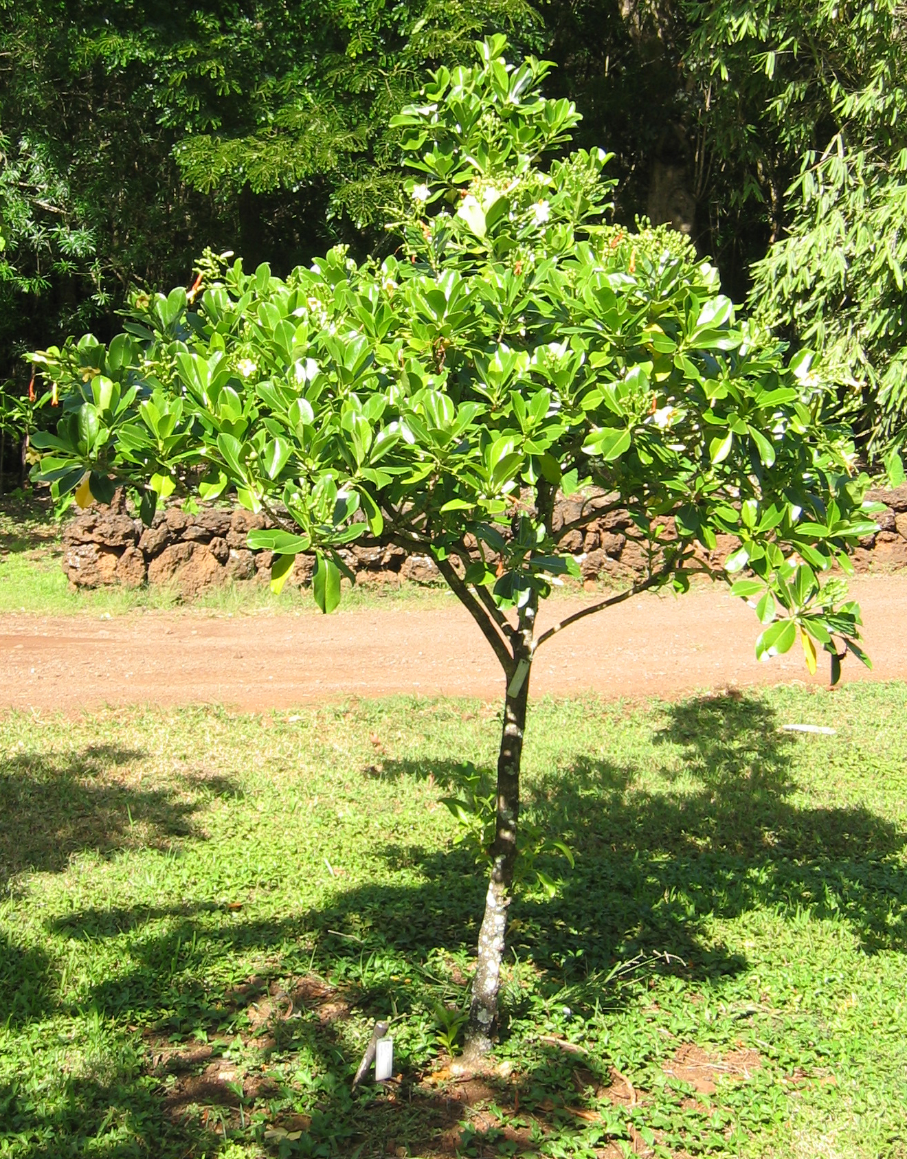 Fagraea berteroana   - Habit, young tree