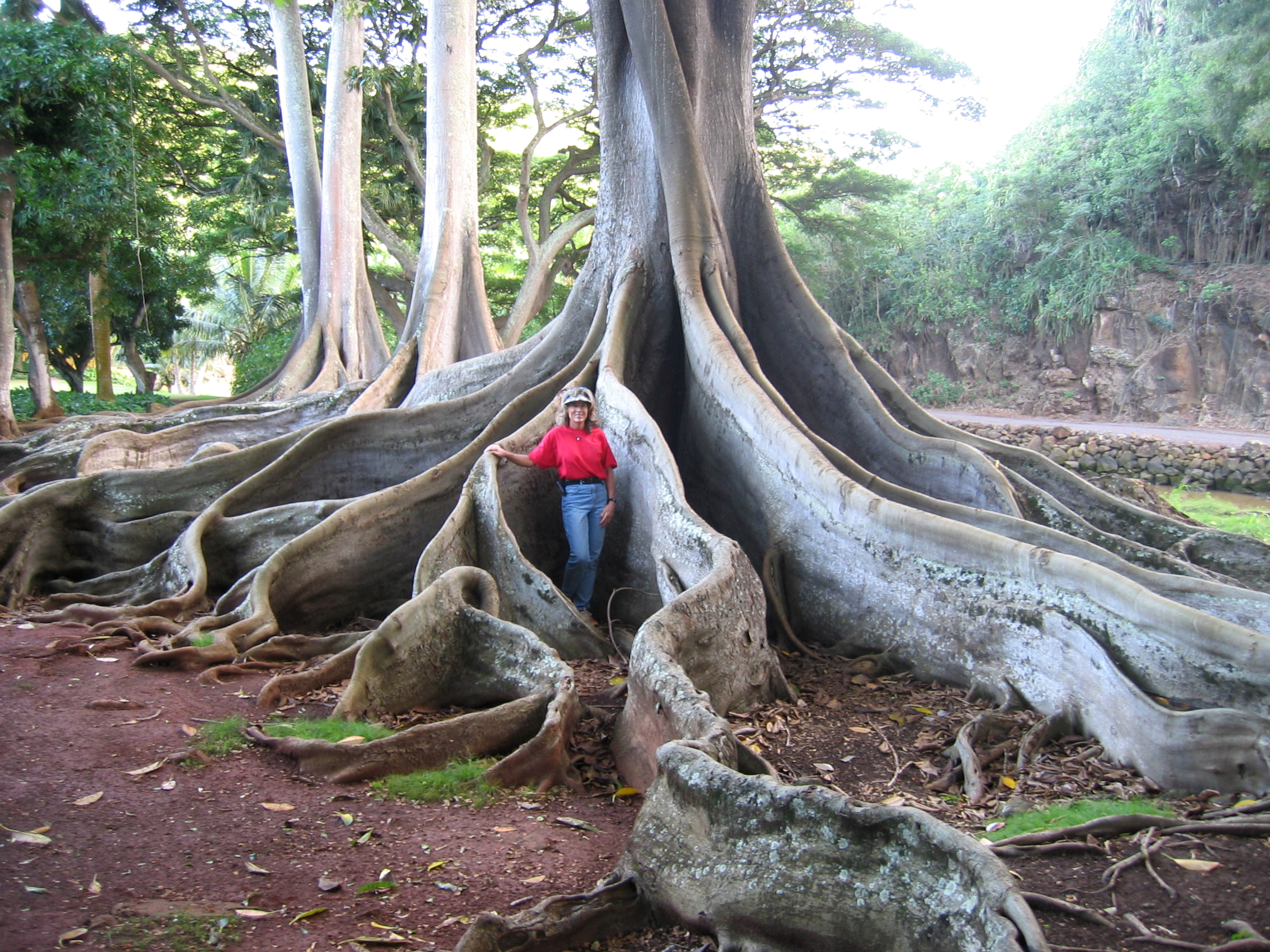 Ficus macrophylla   - Moreton Bay Fig with Senior Horticulturist Maureen Murphy demonstrating the size of the roots