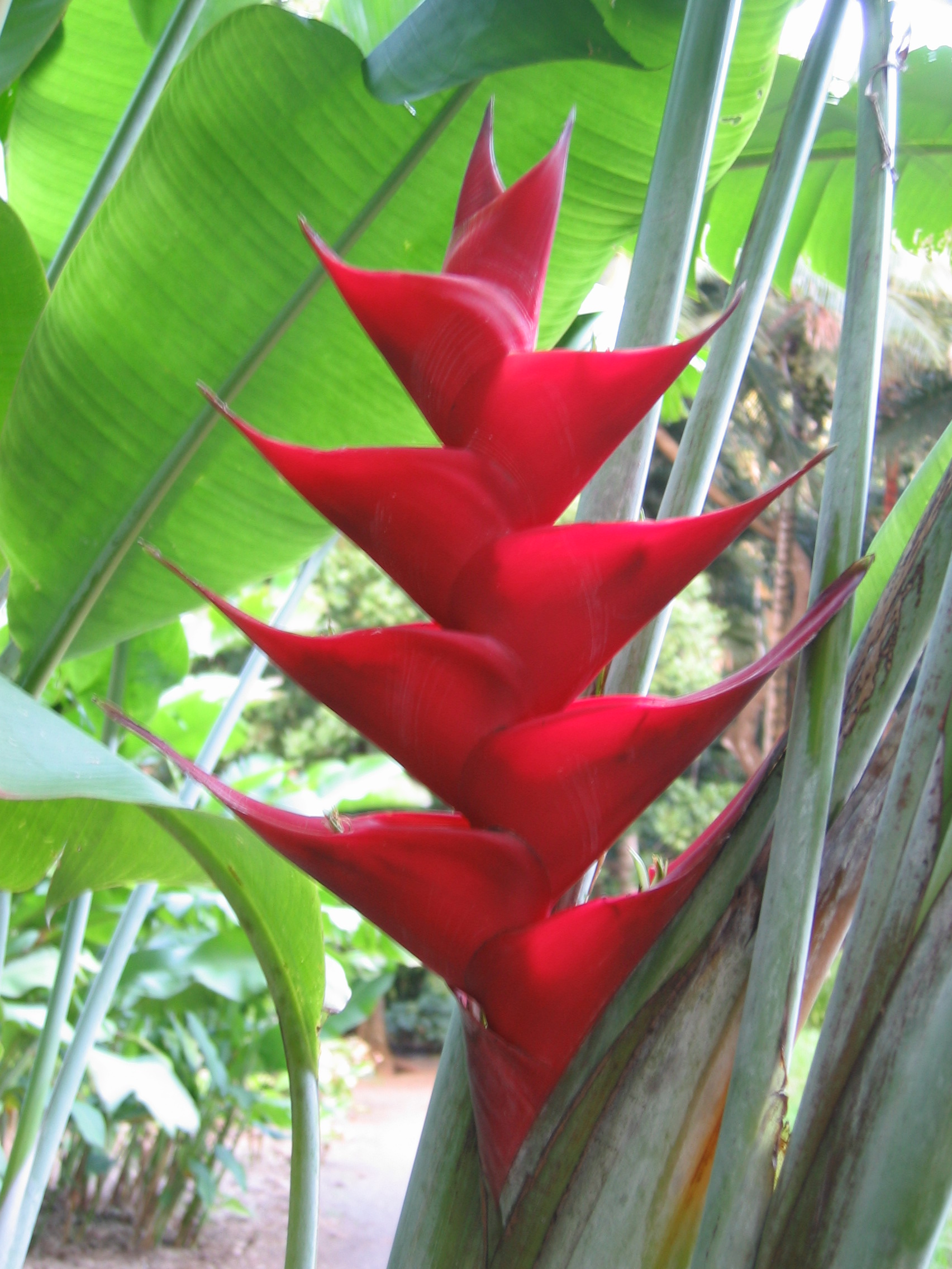 Heliconia caribaea   - Red flowering