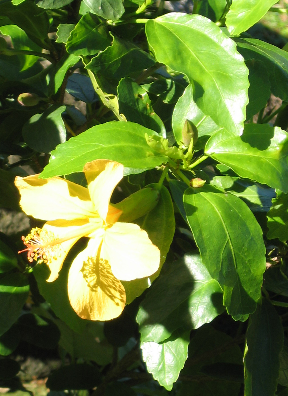 Hibiscus kokio subsp. saintjohnianus  - Yellow flowering