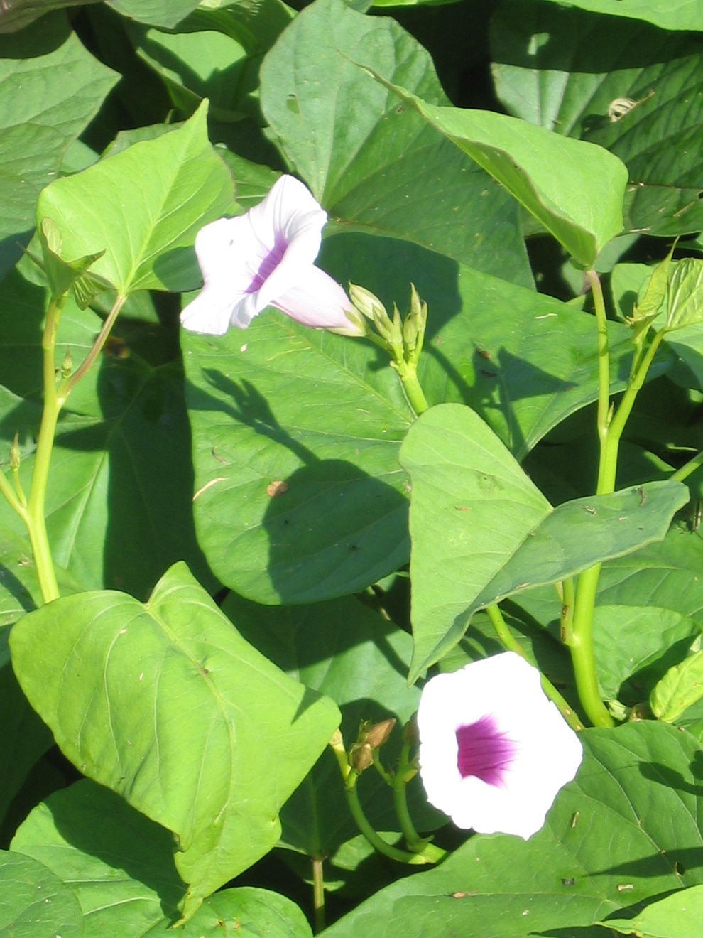 Ipomoea batatas   - 