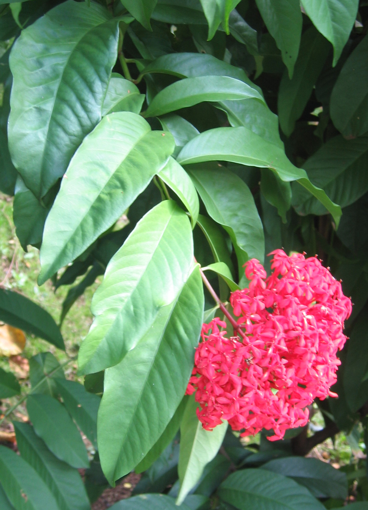 Ixora casei   - 