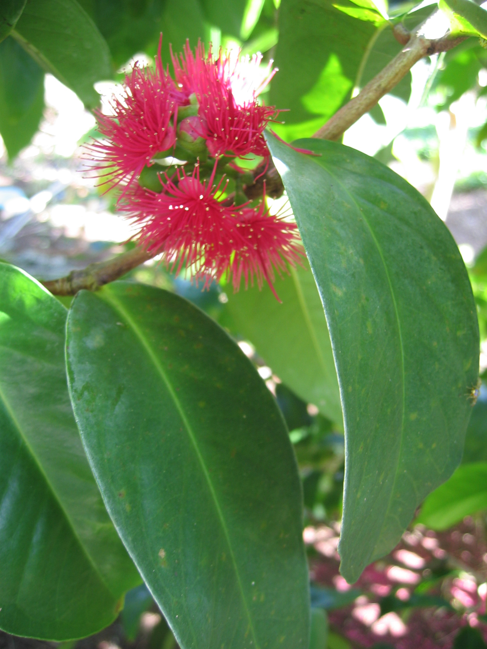 Syzygium malaccense   - Mountain apple, flower detail