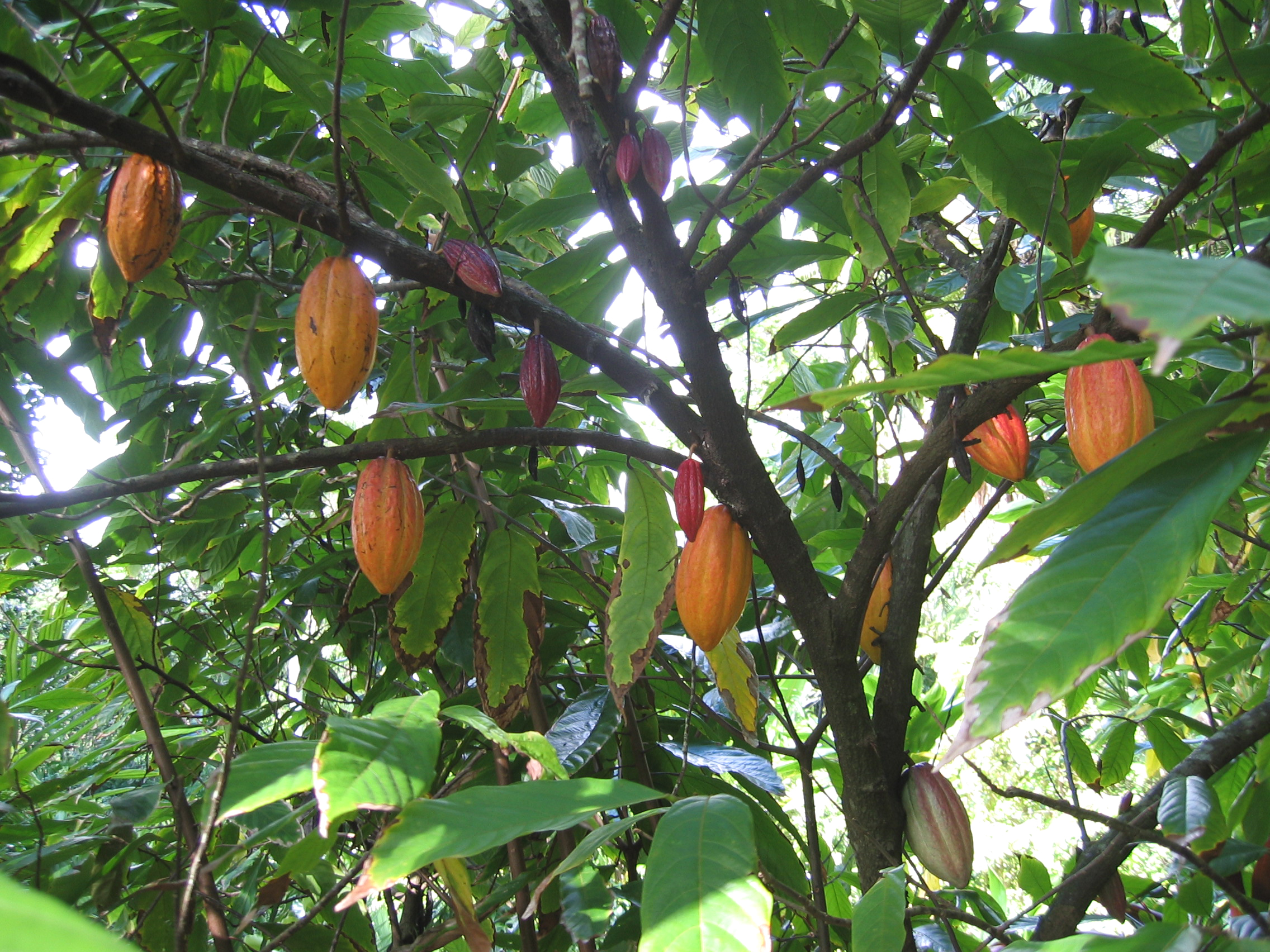 Theobroma cacao   - Mature fruit hanging on branches