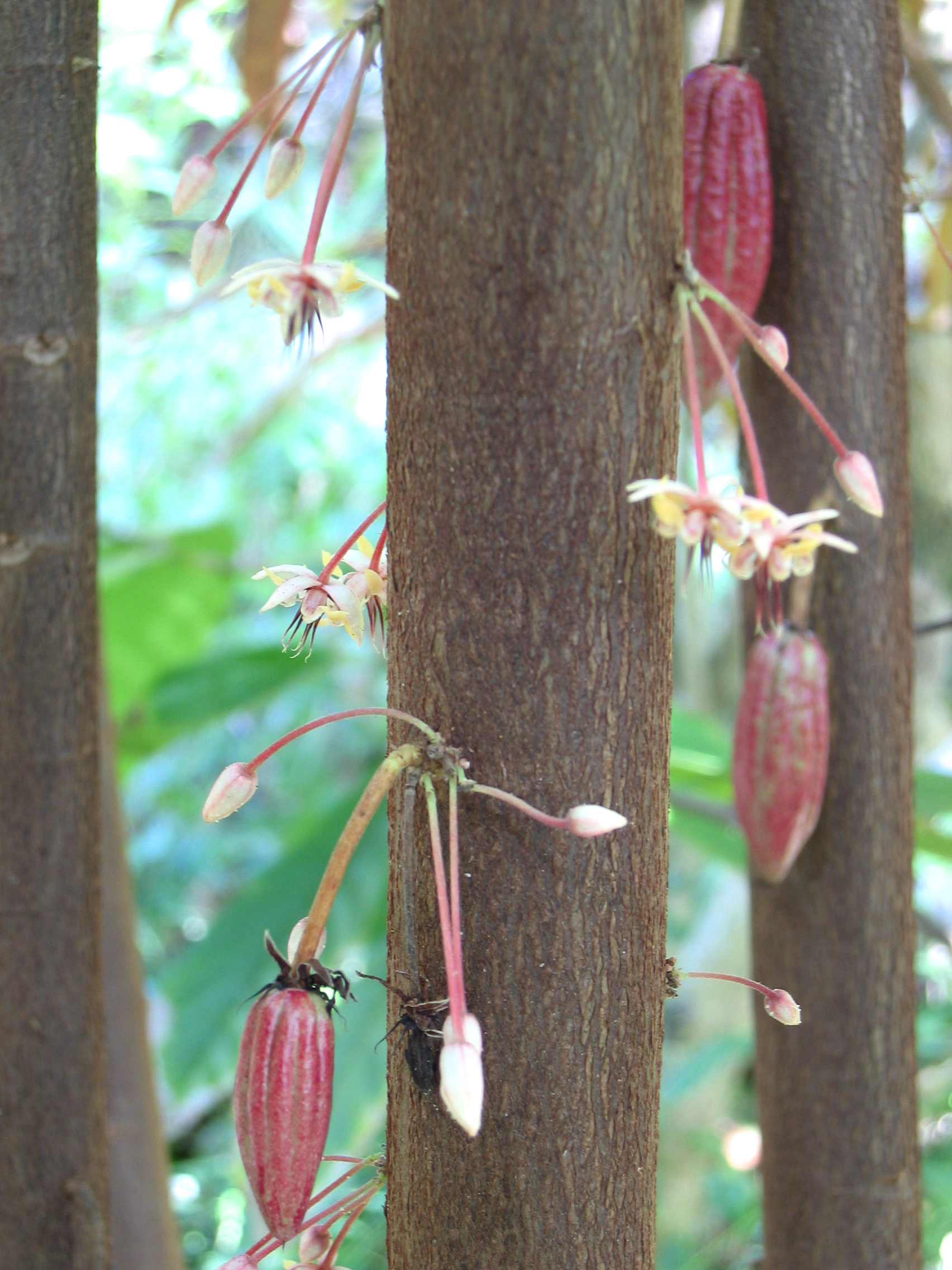 Theobroma cacao   - Flowers and very young fruits
