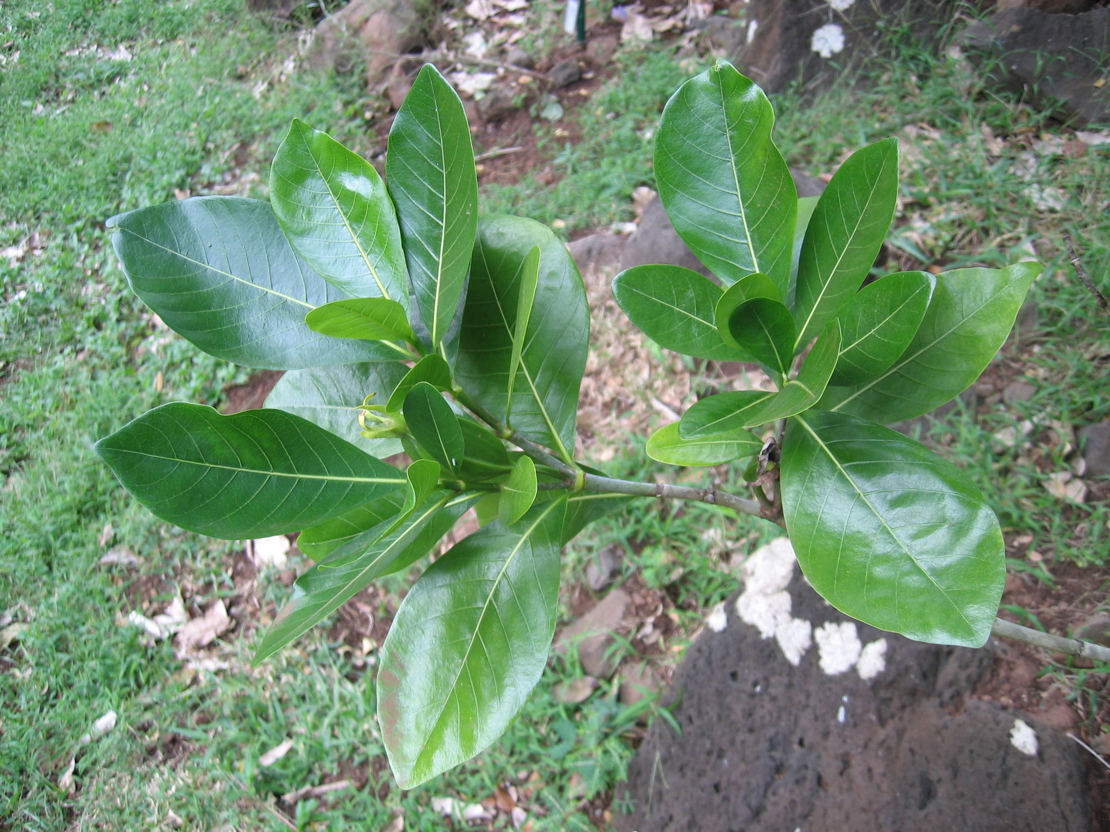Gardenia taitensis   - 