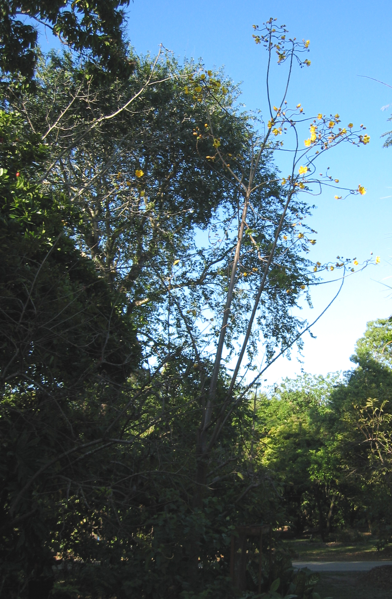 Cochlospermum vitifolium   - Habit, leafless tree in flower