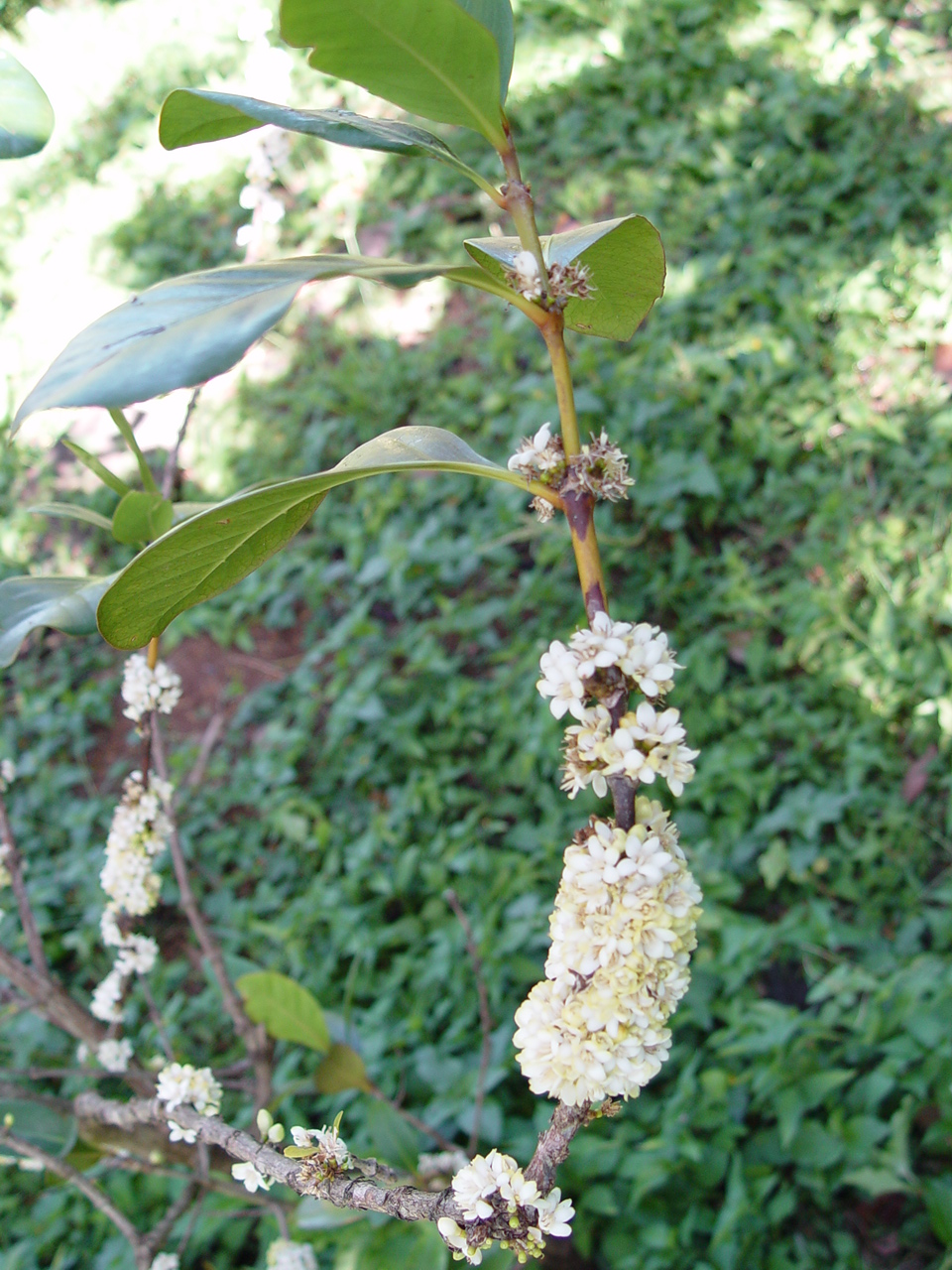 Coffea mauritiana   - Flowering branch in full flower