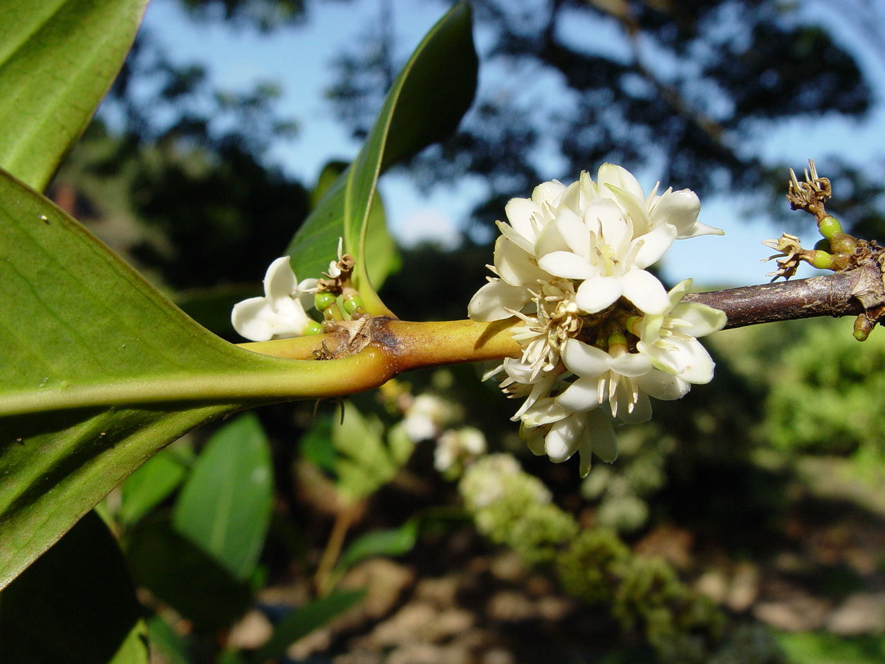 Coffea mauritiana   - Open flowers