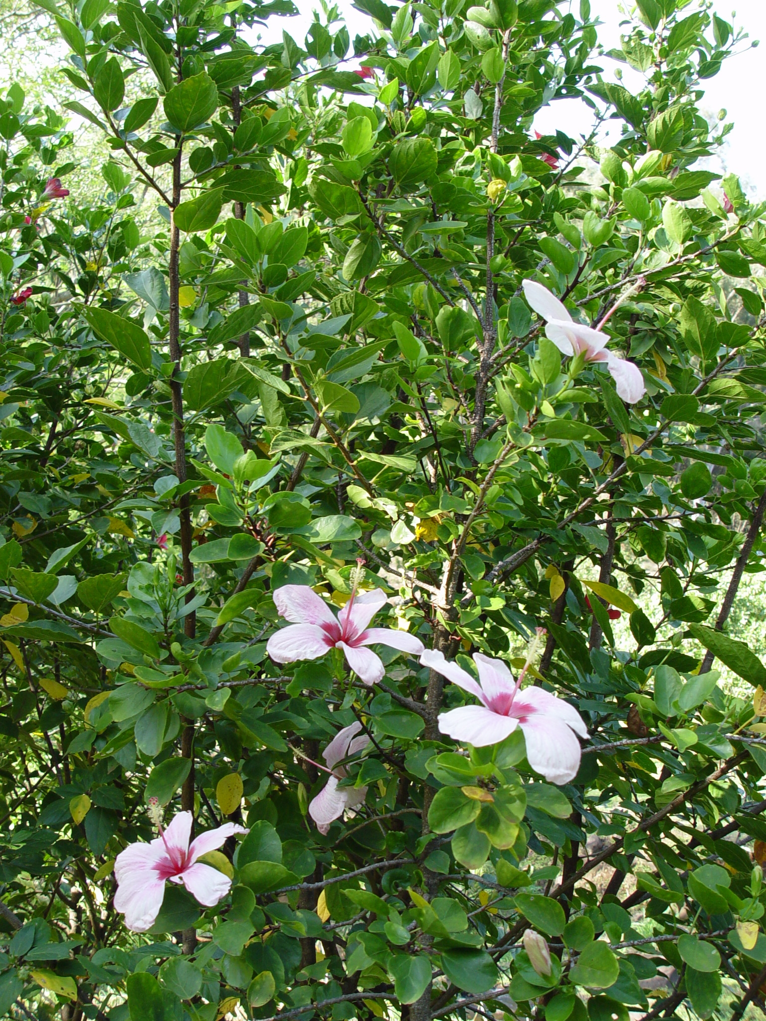 Hibiscus genevii   - Hibiscus genevii habit