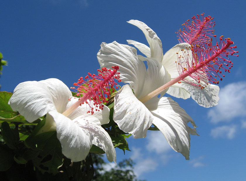 Hibiscus waimeae subsp. waimeae  - flowers