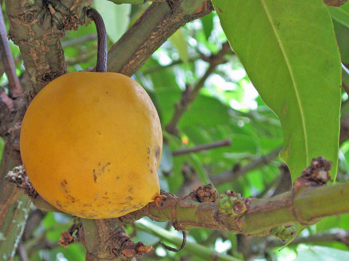 Garcinia xanthochymus   - 